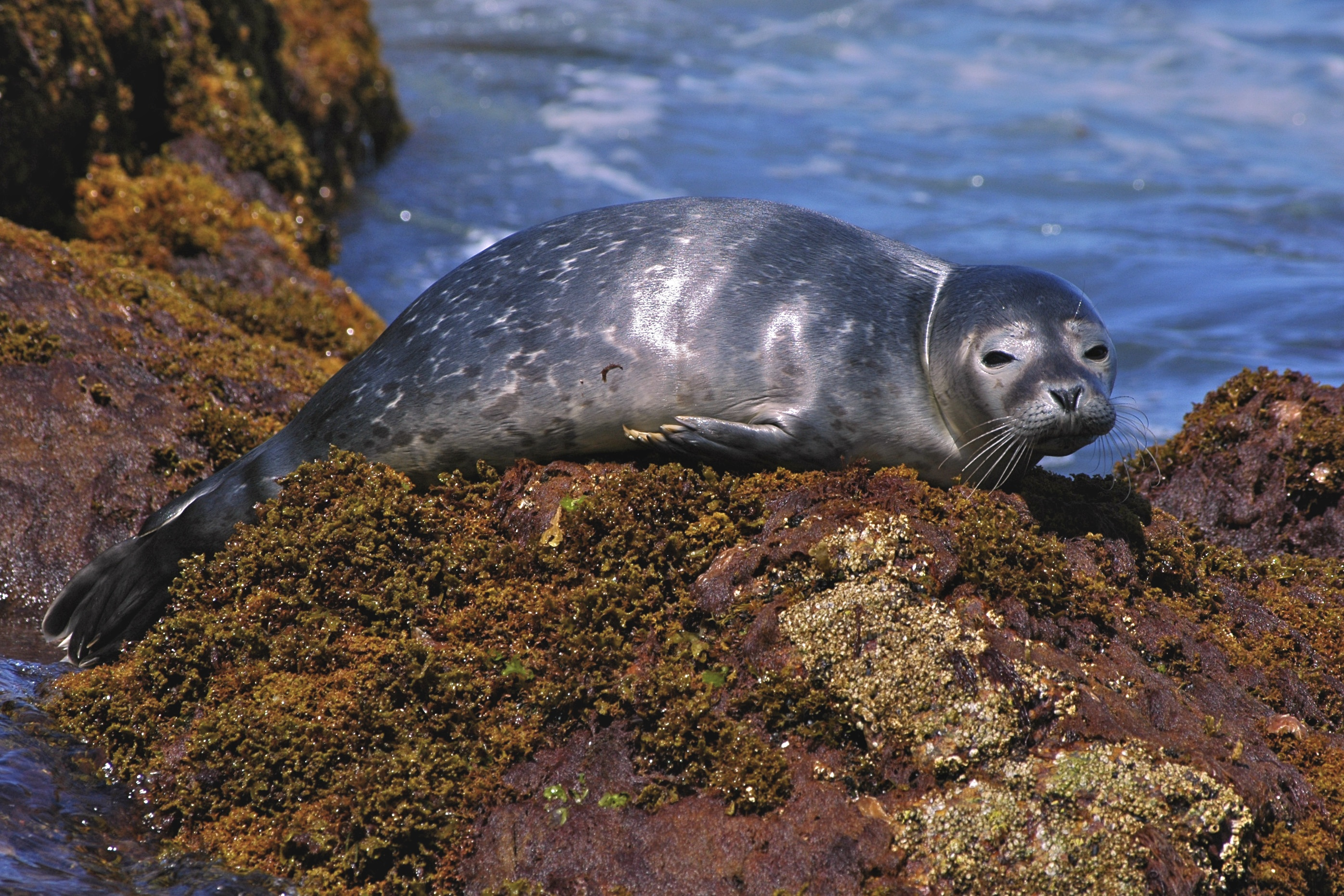 Basking harbor seal pup.