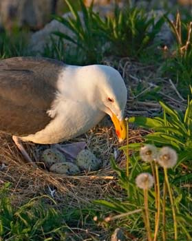 Gull Nest Monitoring