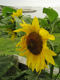 A Sun Flower on Appledore Island