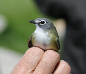 Photo of blue-headed vireo provided by NH Audubon