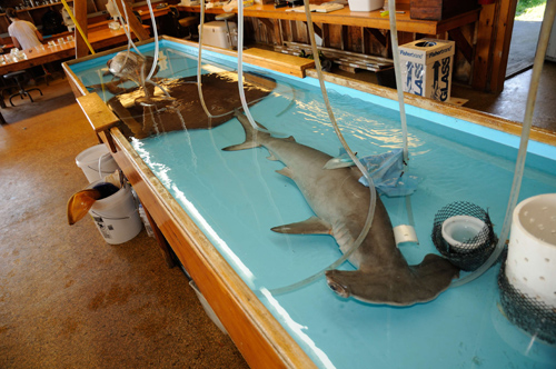 Introduction to the Biology of Sharks, Skates, and Rays ...