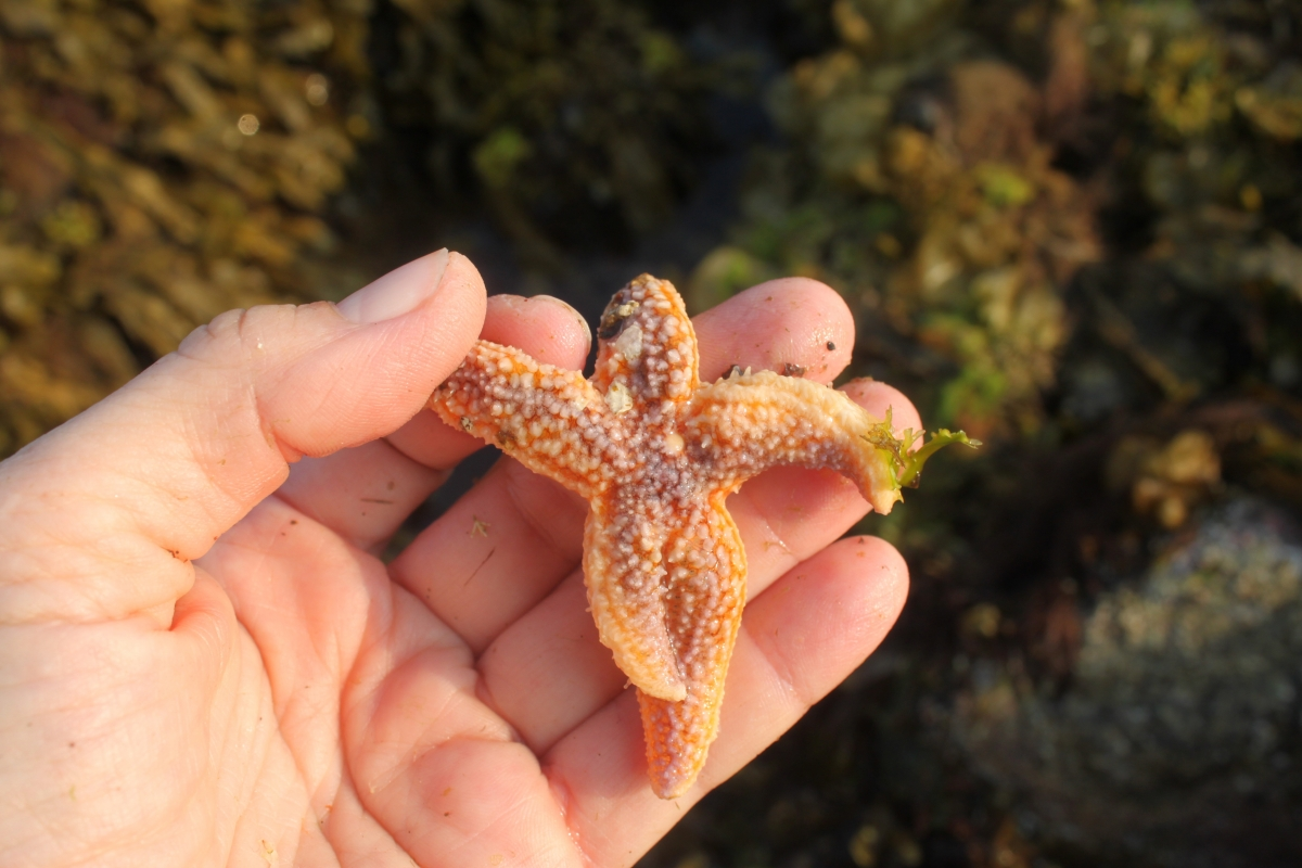 Asterias sea star
