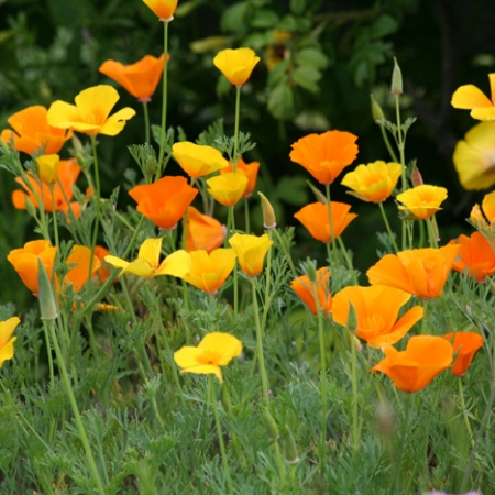 California poppies by P. Chellis