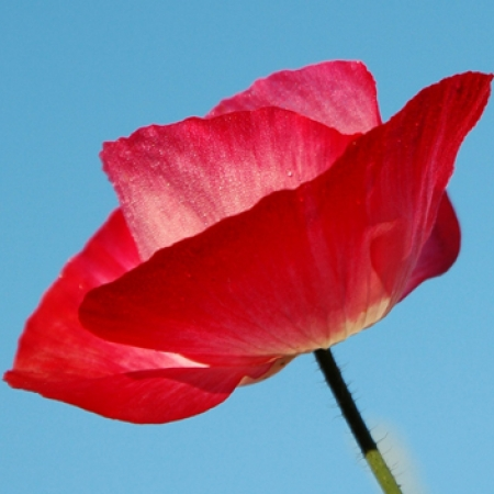 Celia's Poppy by R. Sher